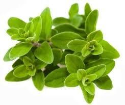 Fűszernövények- majoranna